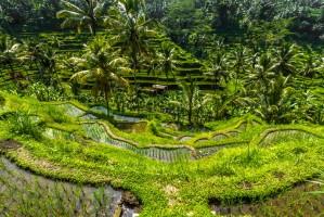 SST Bali rijstveld 1000x