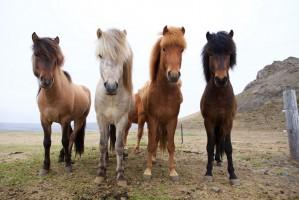 SST IJsland paarden 1000x