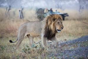 SST Botswana leeuw safariauto (1) 1000x