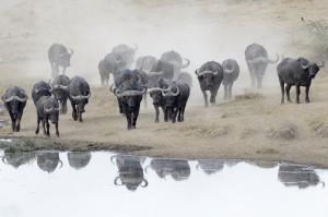 SST Buffalos GROOT 1000x