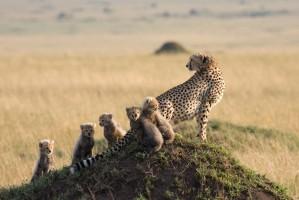SST Cheeta met jong