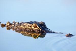SST Florida krokodil 1000x