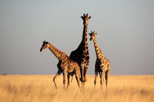 SST Giraffen in veld 1000x